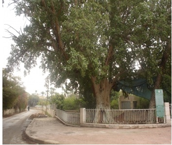 여리고에 있는 돌 무화과나무